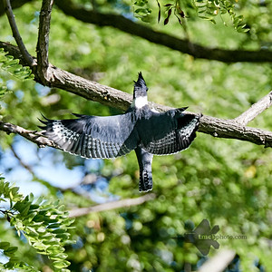Belted Kingfisher_2019-09-08_2