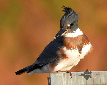 Belted Kingfisher_2019-10-20_2