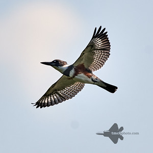 Belted Kingfisher_2019-09-21_1