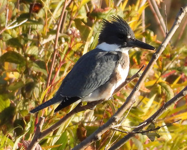 Belted Kingfisher_2019-10-19_2