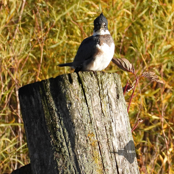 Belted Kingfisher_2019-10-19_1