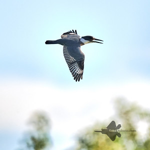 Belted Kingfisher_2019-09-08_4