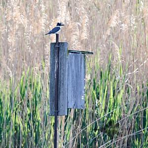 Belted Kingfisher_2019-06-09_1