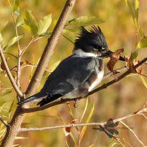 Belted Kingfisher_2019-10-19_3