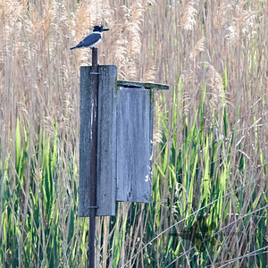 Belted Kingfisher_2019-06-09_2