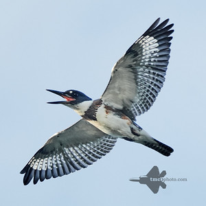 Belted Kingfisher_2019-09-21_3