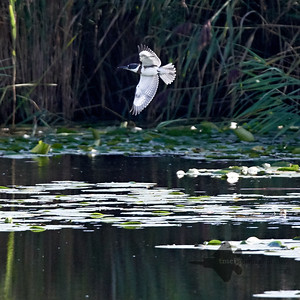 Belted Kingfisher_2019-09-08_6