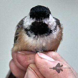 Chickadees & Titmice