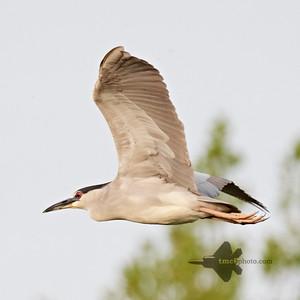 Black-Crowned Night Heron_2019-06-01_1