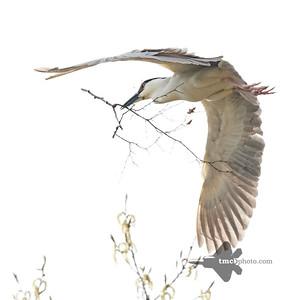 Black-Crowned Night Heron_2019-05-18_2