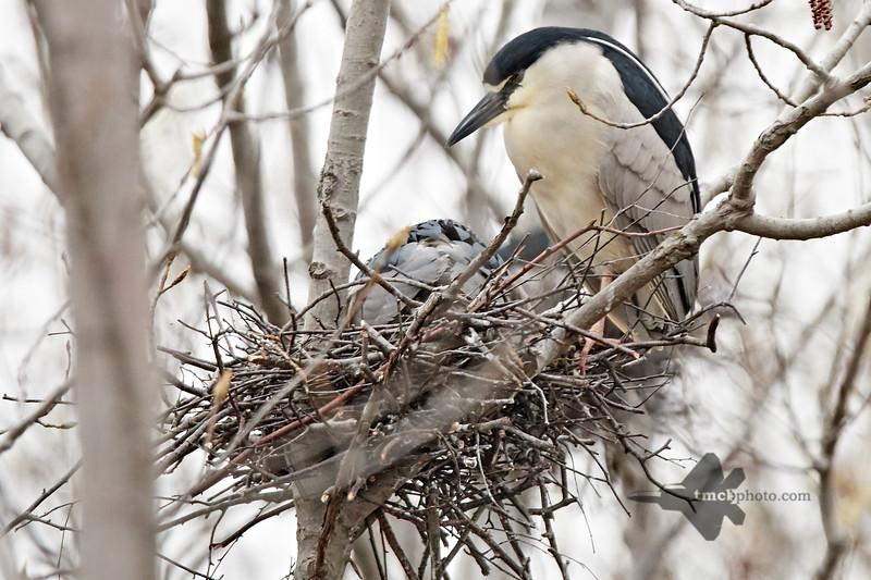 Black-Crowned Night Heron_2019-05-11_1