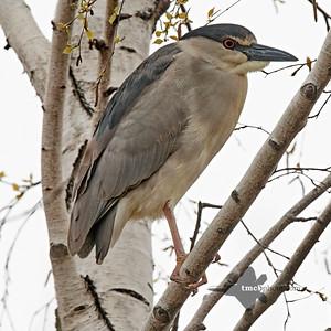 Black-Crowned Night Heron_2019-05-11_3