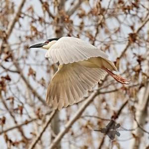 Black-Crowned Night Heron_2019-05-18_4