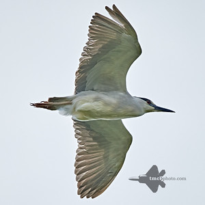 Black-Crowned Night Heron_2019-06-02_2