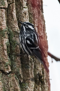 Black-and-White Warbler_2019-05-04_1