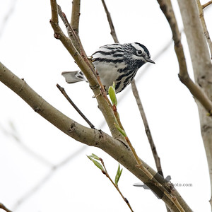 Black-and-White Warbler_2019-05-11_2