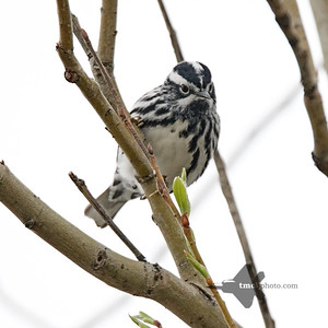 Black-and-White Warbler_2019-05-11_1