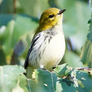 Black-Throated Green Warbler_2019-09-29_2
