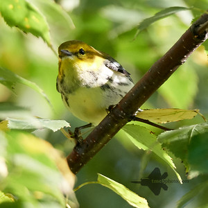 Black-Throated Green Warbler_2019-09-29_1
