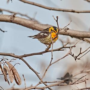 Blackburnian Warbler_2019-05-18_5