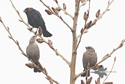 Brown-Headed Cowbird_2019-05-04_1