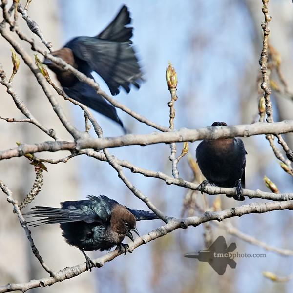 Brown-Headed Cowbird_2019-05-18_2