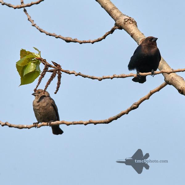 Brown-Headed Cowbird_2019-06-01_2