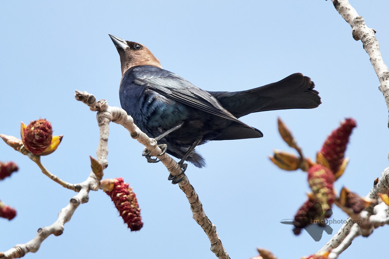 Brown-Headed Cowbird_2019-05-11_1