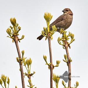 Brown-Headed Cowbird_2019-06-01_3