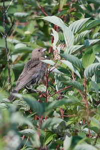 Brown-Headed Cowbird_2019-07-21_2