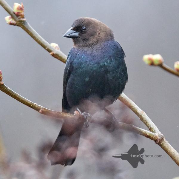 Brown-Headed Cowbird_2019-04-19_2