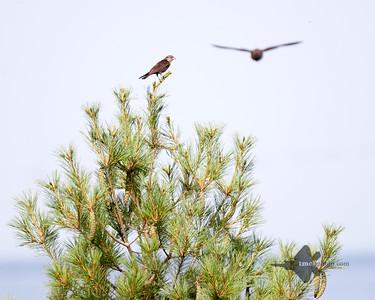 Brown-Headed Cowbird_2019-07-21_1