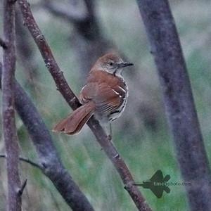 Catbirds, Mockingbirds & Thrashers