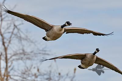 Canada Goose_2019-05-18