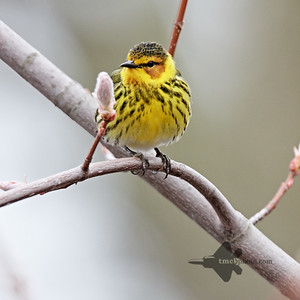 Cape May Warbler_2019-05-11_1