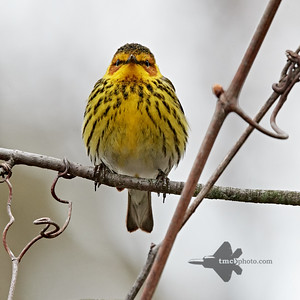 Cape May Warbler_2019-05-11_5