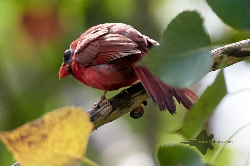 Northern Cardinal_2019-08-18_2