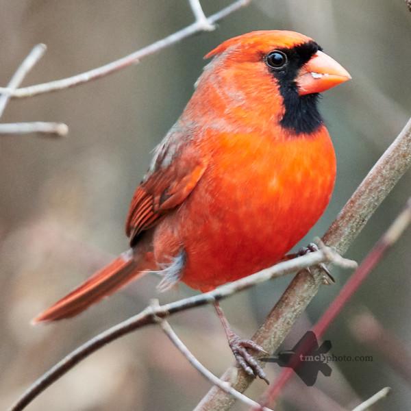 Northern Cardinal_2019-12-30_2