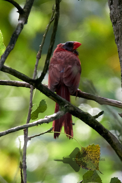 Northern Cardinal_2019-08-18_4