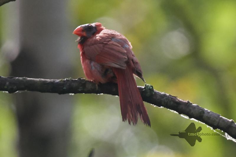 Northern Cardinal_2019-08-18_3