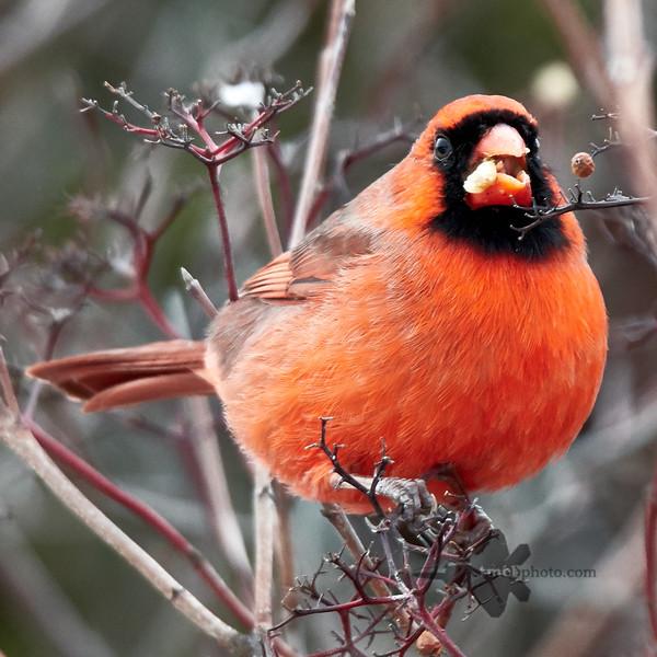 Northern Cardinal_2019-12-07_1