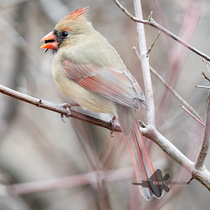 Northern Cardinal_2019-12-30_1