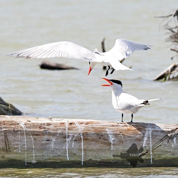 Caspian Tern_2019-06-02_3