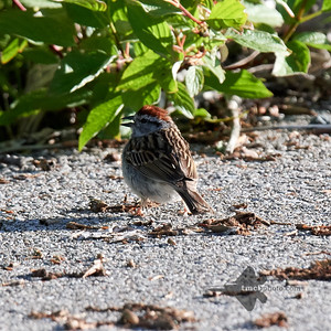 Chipping Sparrow_2019-06-09