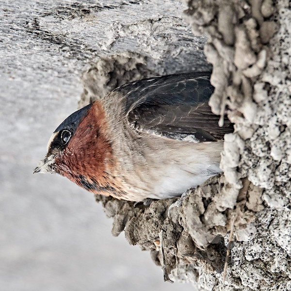 Cliff Swallow_2019-05-18_4
