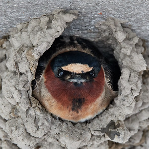 Cliff Swallow_2019-05-18_2