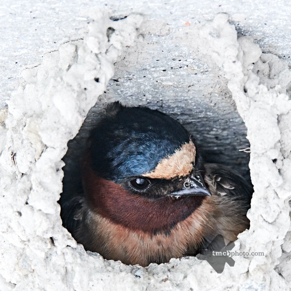 Cliff Swallow_2019-06-01_1