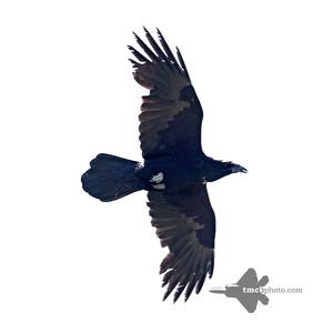 Raven_2019-06-02