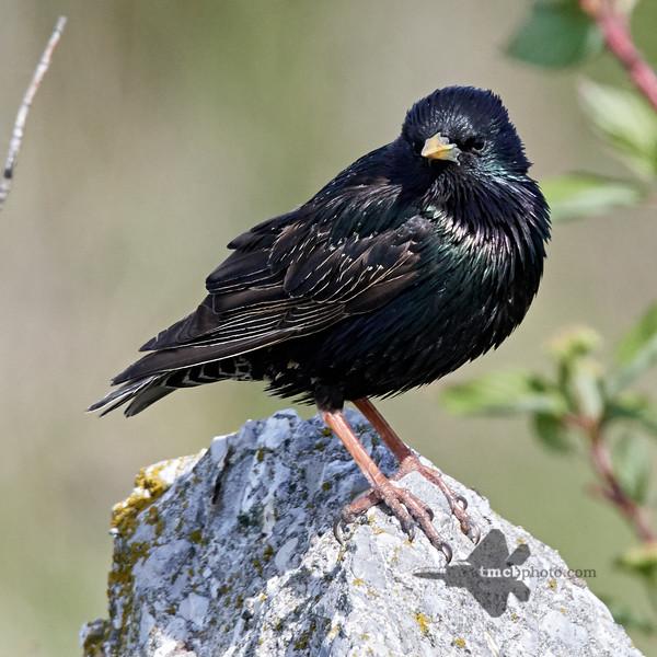 European Starling_2019-06-09_10