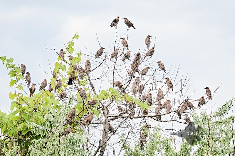 European Starling_2019-08-18_4